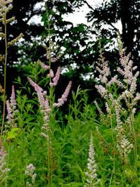 似ている花・チダケサシ、ヤマブキショウマ - オバサンが行く ヒマラヤの青いけしの旅/改め   時々蔵王の花たち