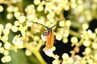 キイロアラゲカミキリ - Insect walk
