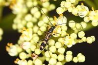 タキグチモモブトホソカミキリ - Insect walk