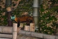 夜の東町公園イタチ - 不定期更新 彩都付近の自然観察日記
