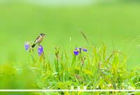 お客様ギャラリー2018北海道ノビタキ - 野鳥大好き写真館|オオタケカメラ