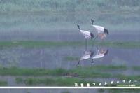 お客様ギャラリー2018北海道タンチョウ親子 - 野鳥大好き写真館|オオタケカメラ