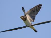ツバメ - 『彩の国ピンボケ野鳥写真館』