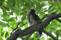 アオバズク08月05日-2 - 旧サンヨン野鳥撮影放浪記