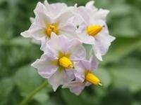 野菜の花 - 標高1,100メートルの悦楽