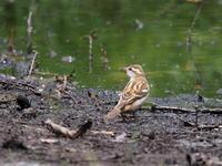 光徳で観察したニュウナイスズメ - コーヒー党の野鳥と自然 パート2