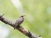 コサメビタキの幼鳥 - コーヒー党の野鳥と自然 パート2