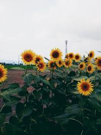 今度こそ向日葵です♪ - あそびをせんとや ~あそびっこ~