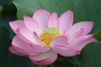 不忍池・艶やかな蓮の花 - マルオのphoto散歩