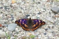 コムラサキ  登山道の蝶 - 蝶のいる風景blog