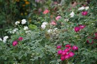 小さなローズガーデンに咲くバラと夏の花  ~ 続き - 季節の風を追いかけて