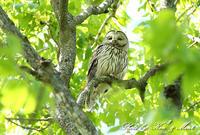 ④会いたかった大好きな「エゾフクロウ」さん親子♪ byミント編 - ケンケン&ミントの鳥撮りLifeⅡ