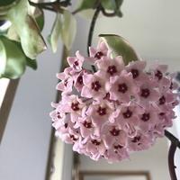 サクラランの花 - 緑のしずく (ベランダガーデン便り)
