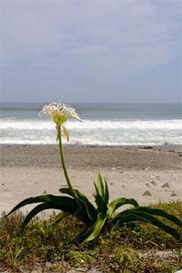 ハマユウ - Beachcomber's Logbook