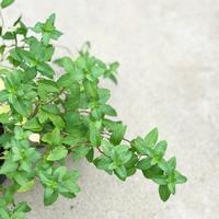 ミントっぽい植物 勝手にランキング! - さにべるスタッフblog     -Sunny Day's Garden-