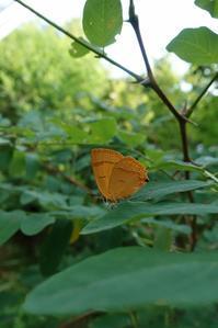 夏のチョウムモンアカシジミ - 蝶超天国