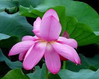 雨中に咲くハスの花 ほか - 星の小父さまフォトつづり