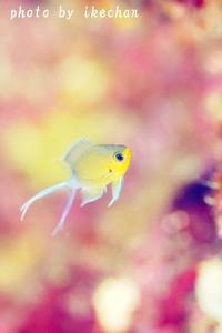 悩ましい ~マルスズメダイ幼魚~ - 池ちゃんのマリンフォト