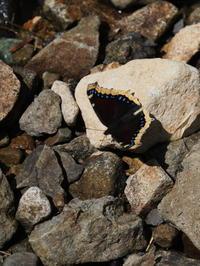 キベリタテハ - 自然を楽しむ