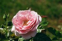 雪印種苗のバラとマクロ比率 - 照片画廊