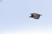 逆光のオジロワシ - 野鳥公園