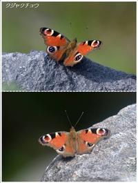 お山の蝶たち2018(クジャクチョウ/ルリタテハ) - トドの野鳥日記