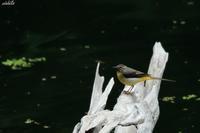 山深い池に来たキセキレイ - michikoの部屋