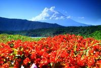 30年8月の富士(9)西湖の花と富士 - 富士への散歩道 ~撮影記~