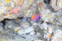 沖縄本島8月分余裕かましてハナゴンベyg - 潜りたおし