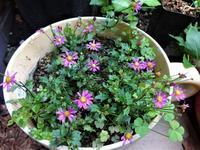 ブラキカム - だんご虫の花