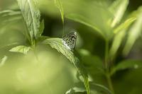 猛暑の林道にて~オオゴマシジミ - チョウ!お気に入り