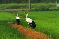 こうのとり - barbersanの野鳥観察