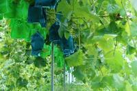 ぶどう泥棒の話  - ~葡萄と田舎時間~ 西田葡萄園のブログ