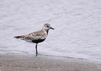 Grey Plover - AVES