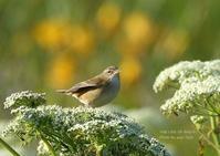 一所懸命さえずる、コヨシキリ幼鳥 - THE LIFE OF BIRDS ー 野鳥つれづれ記