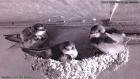 今夜も巣に3羽います! - モンスとツバメ2
