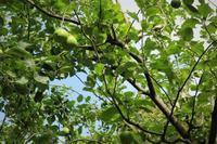 林檎の木 Pommiers - tony☆