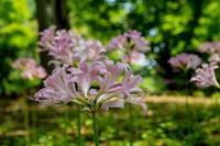 たくさん咲いていたナツズイセン - あだっちゃんの花鳥風月