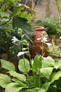 ホスタ・ロイヤルスタンダードの花 - 小さな庭 2