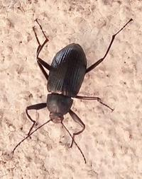 #甲虫 『木廻』 Plesiophthalmus nigrocyaneus - 自然感察 *nature feeling*