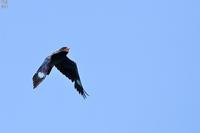 ブッポウソウの飛翔 - 野鳥公園