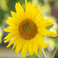 Sunflower - ∞ infinity ∞