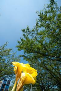 黄色いカンナの花(松山総合公園) - かたくち鰯の写真日記2