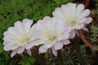 荒れたマイガーデンに咲くお預かりの花 - 季節の風を追いかけて