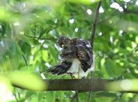 ツミ幼鳥、、くつろぎ、、 - ぶらり探鳥