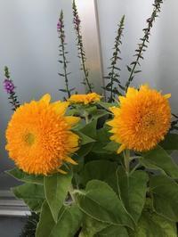 ●台風過ぎて、八重咲きの向日葵買う - 太陽と大地のエクボ3