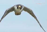 ハヤブサ - 北の野鳥たち