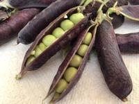 King Tut Peas (キング・ツタン・ピー) - ファルマウスミー
