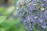 8月の紫陽花 - 猪こっと猛進