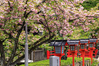 桜咲く京都2018六孫王神社の春の花々 - 花景色-K.W.C. PhotoBlog